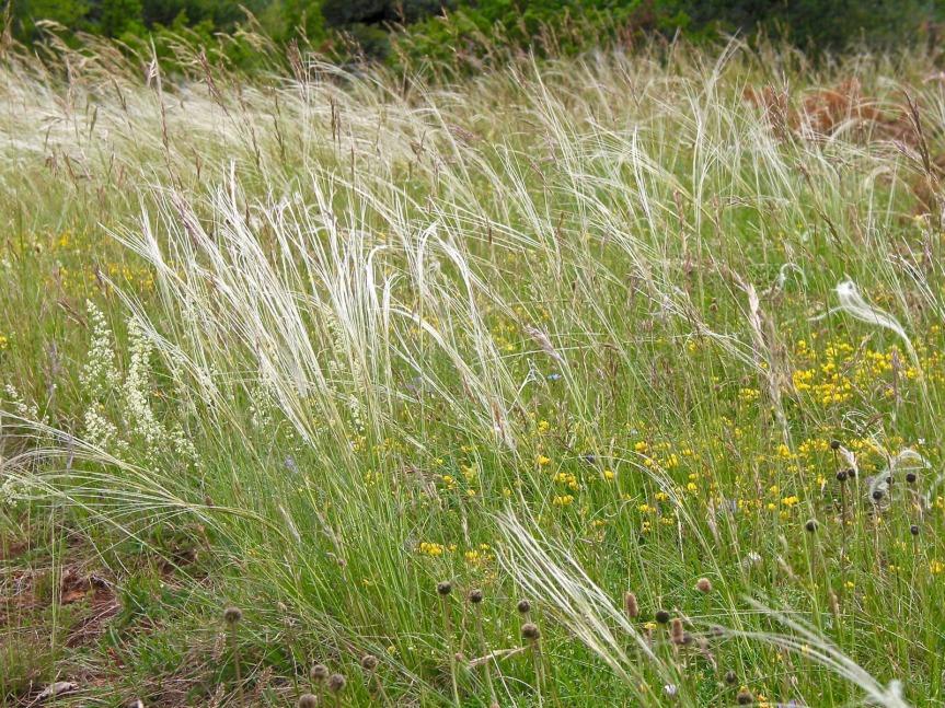 Sur le Causse Noir, graminées (cheveux d'ange), thym serpolet, buis, genérviers, buisson de bussérols et des orchidées en pagaille.