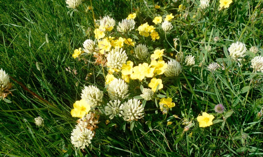 Plus de 100 espèces de fleurs peuvent fleurir dans un seul m2 de pelouse d'Aubrac, alors que la moyenne nationale est de 10 à 20.